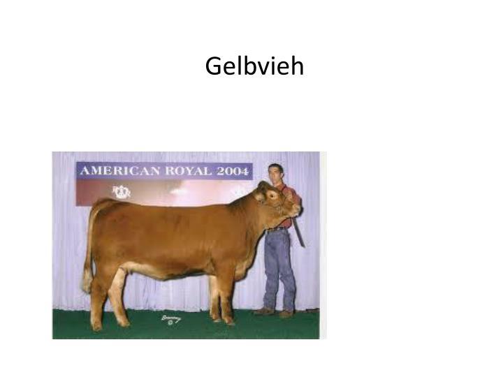 Gelbvieh