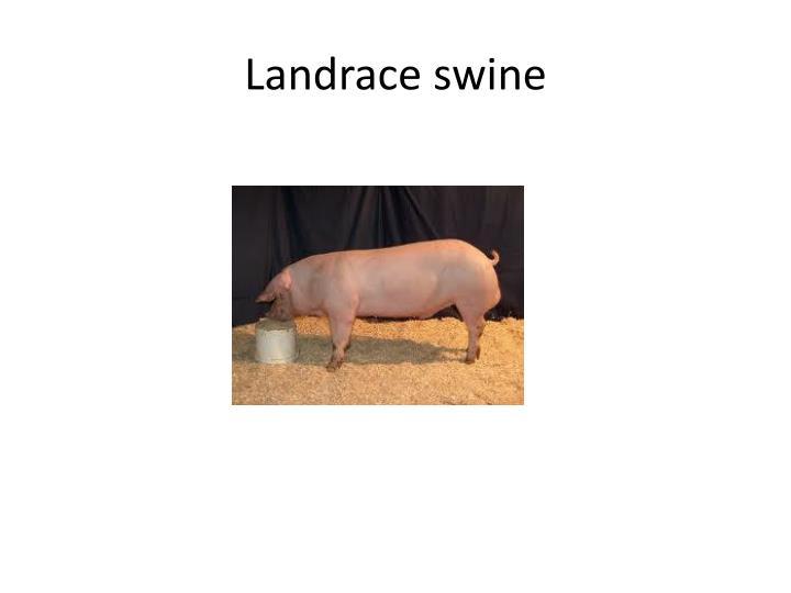 Landrace swine