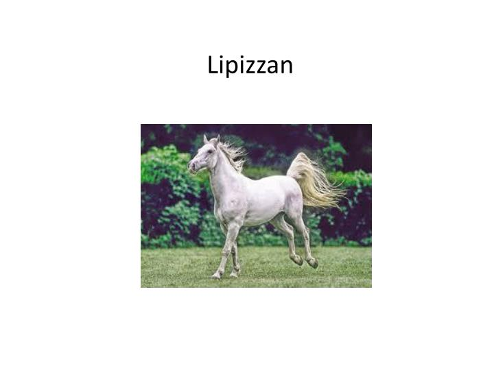 Lipizzan