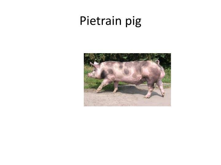 Pietrain pig
