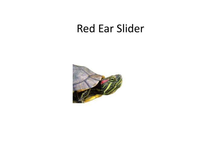 Red Ear Slider
