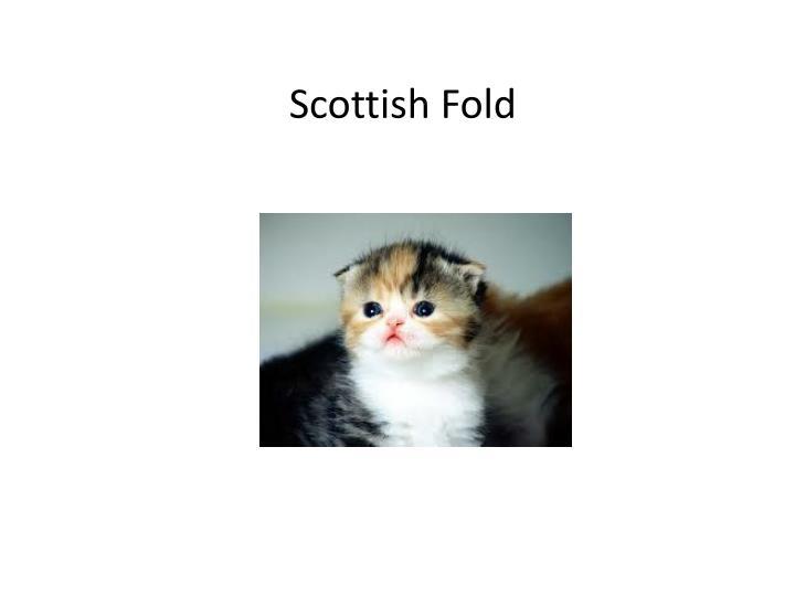 Scottish Fold