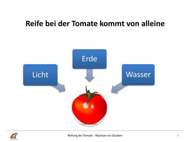 Reife bei der Tomate kommt von alleine