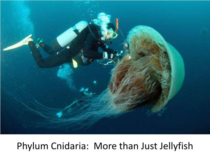 Phylum cnidaria more than just jellyfish