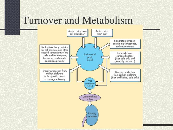 Turnover and Metabolism