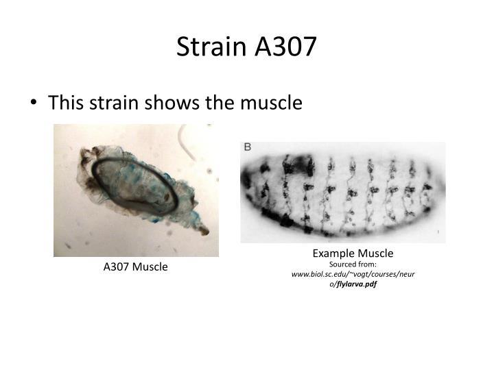 Strain A307