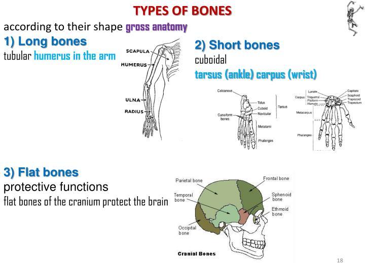 TYPES OF BONES