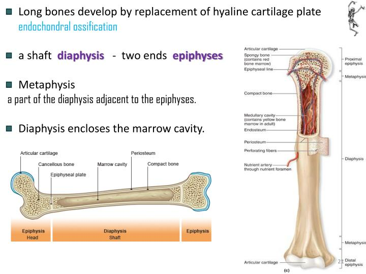 Long bones develop by replacement of hyaline cartilage plate