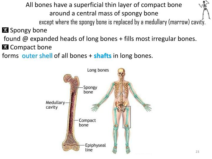 All bones have a superficial thin layer of compact bone