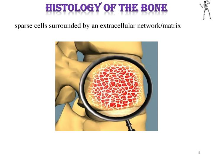 HISTOLOGY OF THE BONE