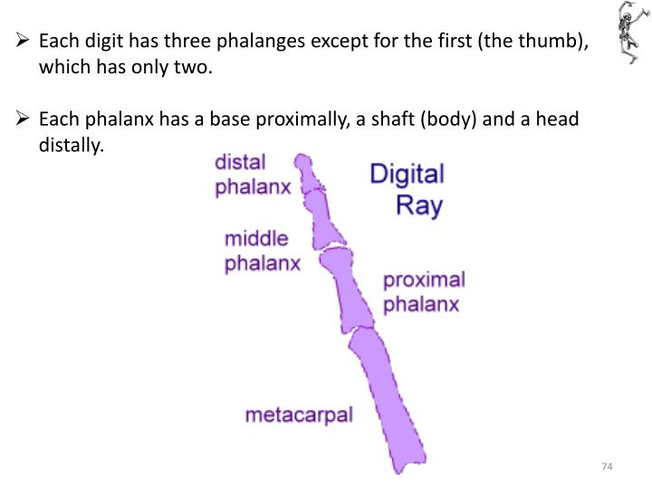 Each digit has three phalanges except for the first (the thumb), which has only