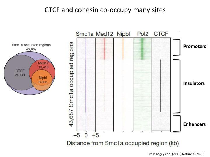 CTCF and cohesin co-occupy many sites