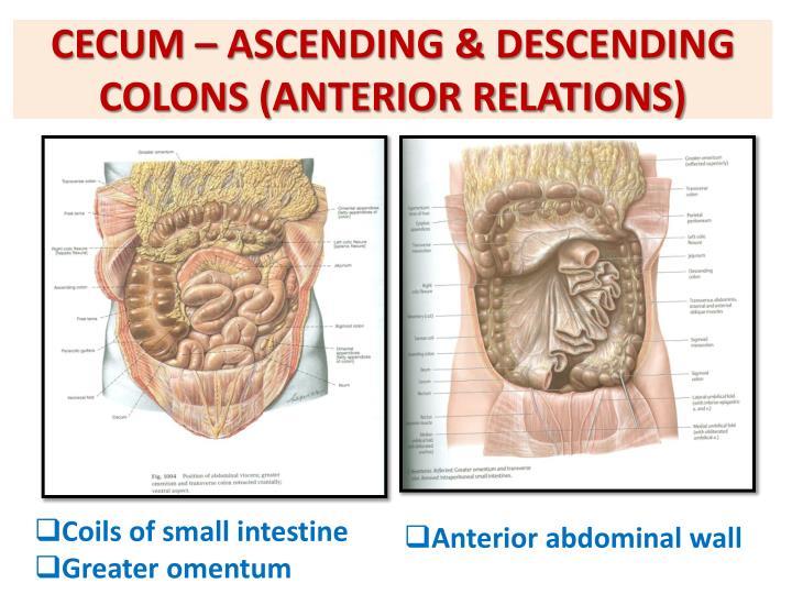 CECUM – ASCENDING & DESCENDING COLONS (ANTERIOR RELATIONS)