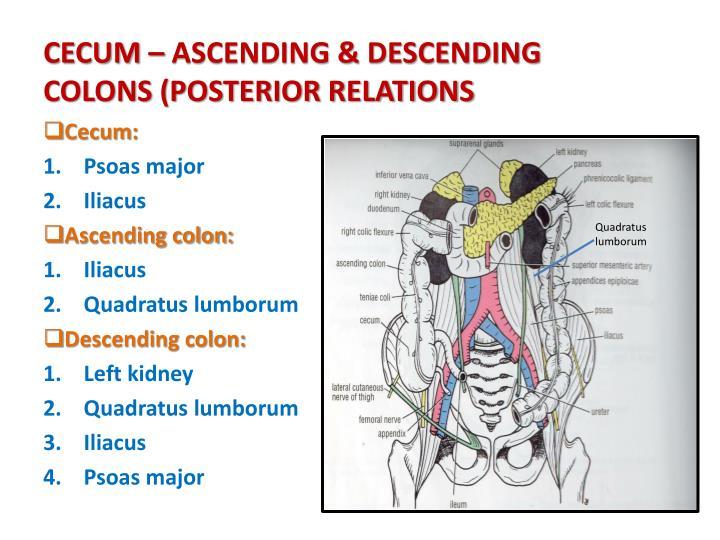 CECUM – ASCENDING & DESCENDING COLONS (POSTERIOR RELATIONS