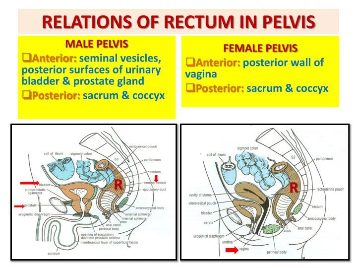 RELATIONS OF RECTUM IN PELVIS