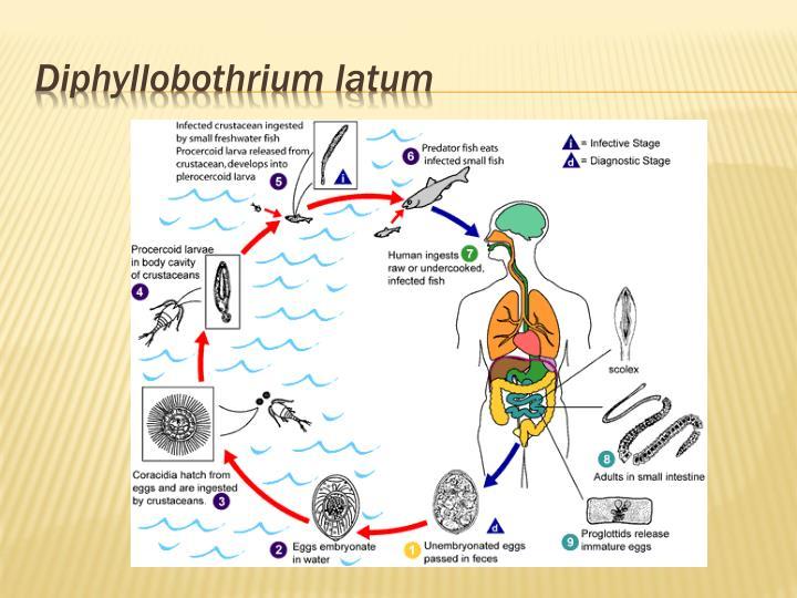 Diphyllobothrium
