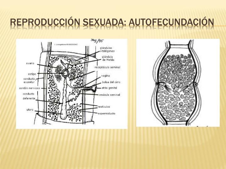 Reproducción sexuada: autofecundación