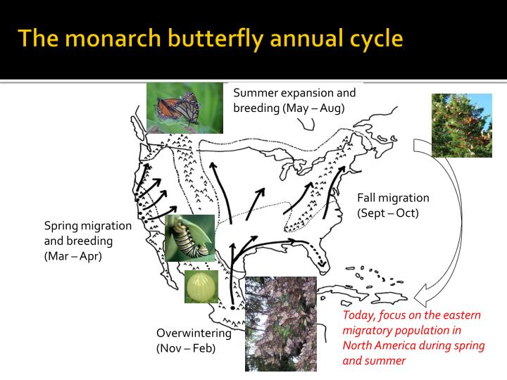 The monarch butterfly annual cycle