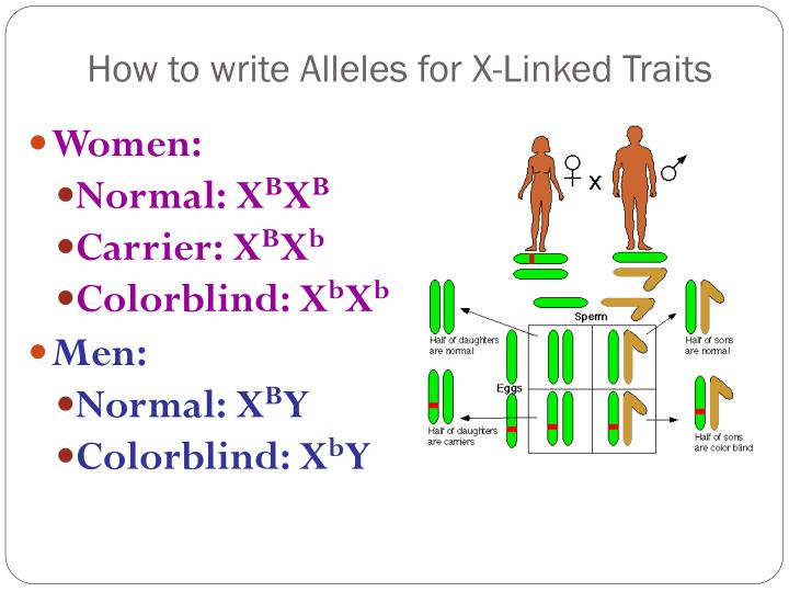 How to write Alleles for X-Linked Traits