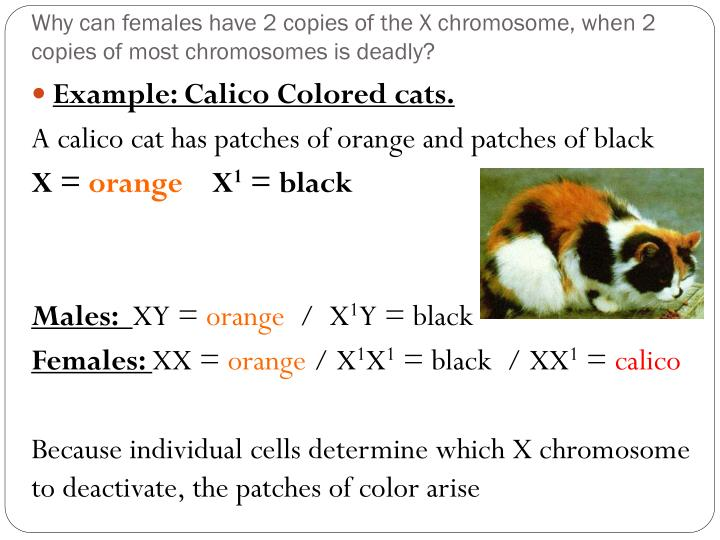 Why can females have 2 copies of the X chromosome, when 2 copies of most chromosomes is deadly?