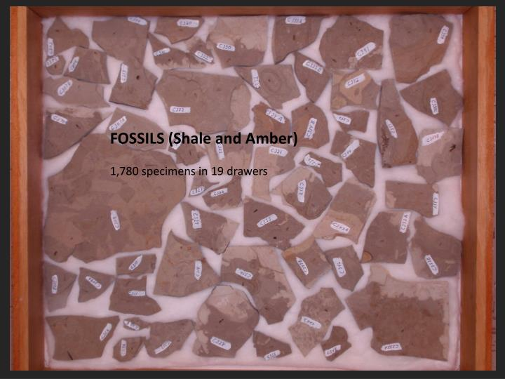 FOSSILS (Shale and Amber)