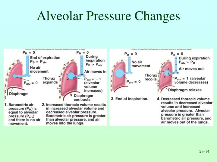 Alveolar Pressure Changes