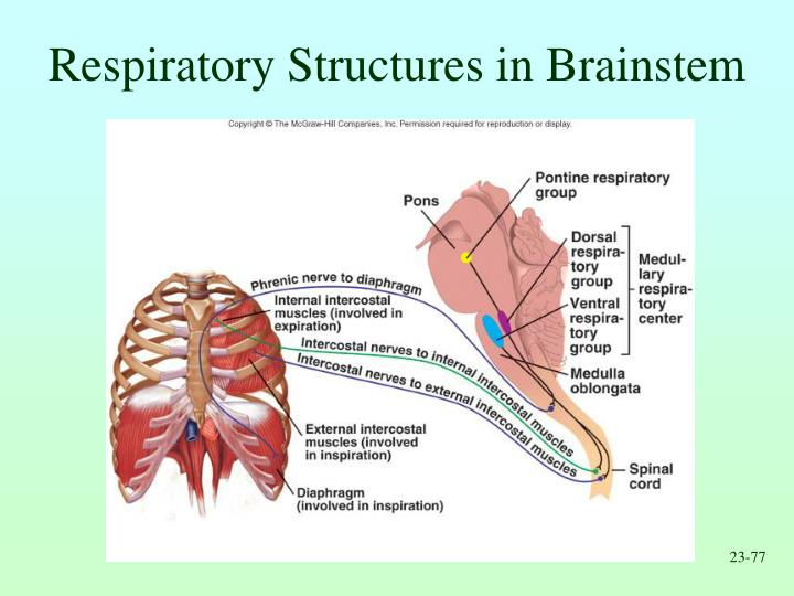 Respiratory Structures in Brainstem