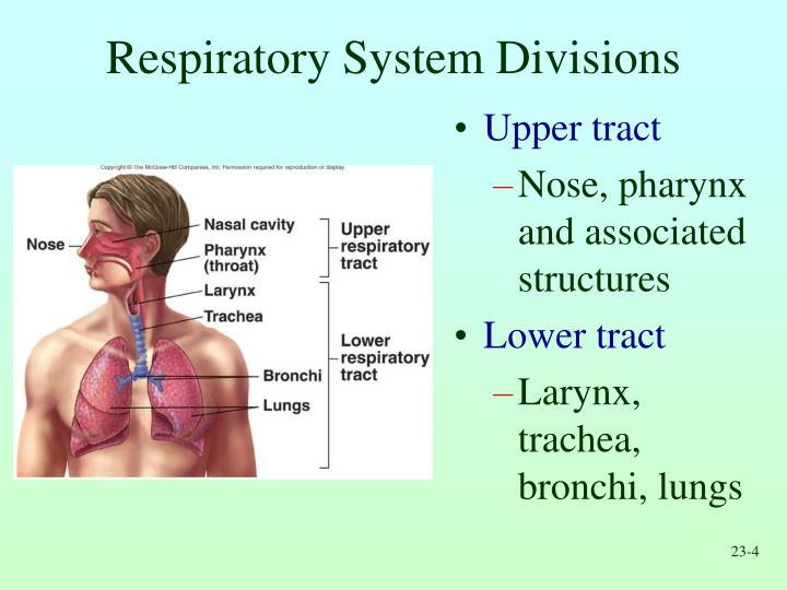 Respiratory System Divisions