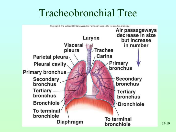 Tracheobronchial Tree