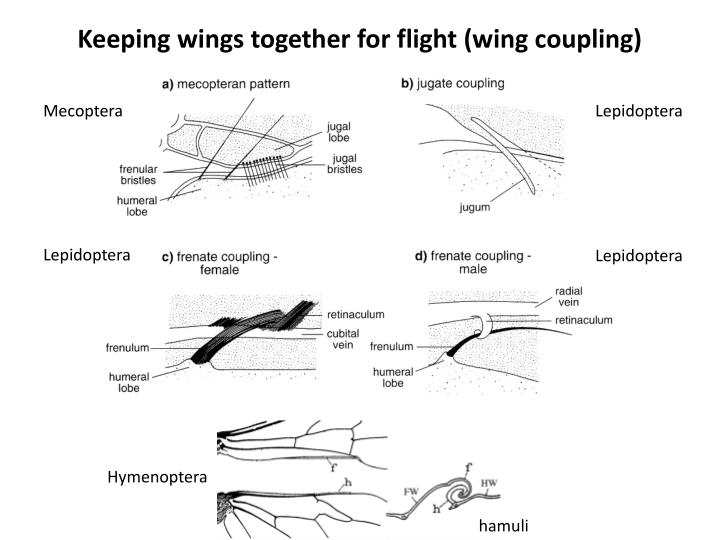 Keeping wings together for flight (wing coupling)