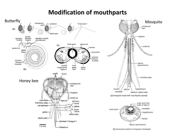 Modification of mouthparts