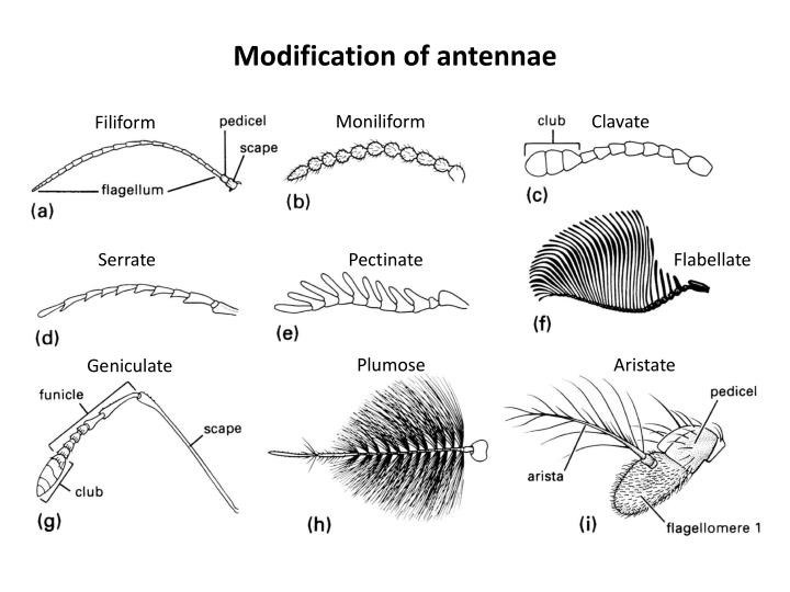 Modification of antennae