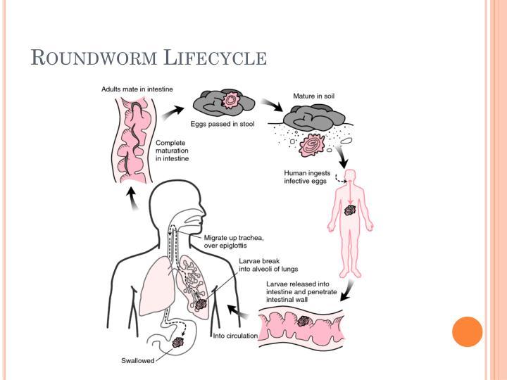 Roundworm Lifecycle