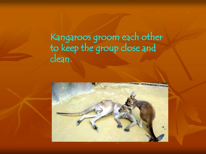 Kangaroos groom each other to keep the group close and clean.