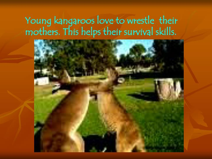 Young kangaroos love to wrestle