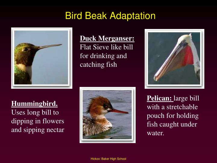 Bird Beak Adaptation