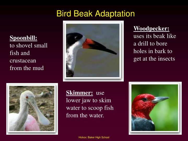 Bird Beak Adaptation