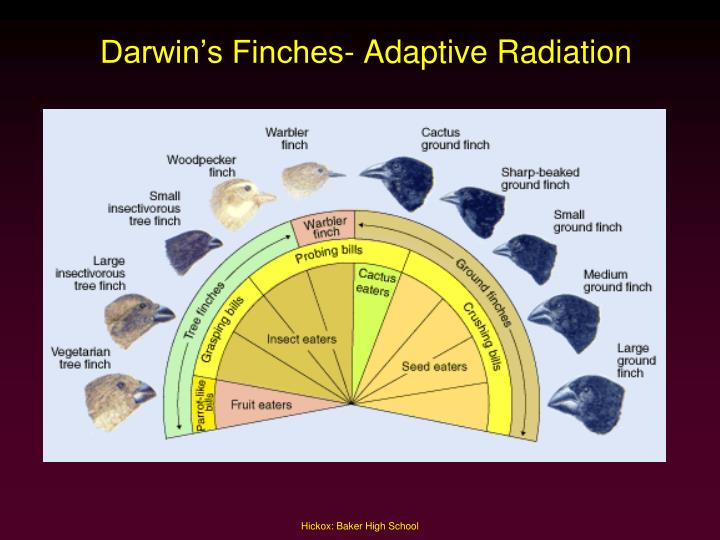 Darwin's Finches- Adaptive Radiation