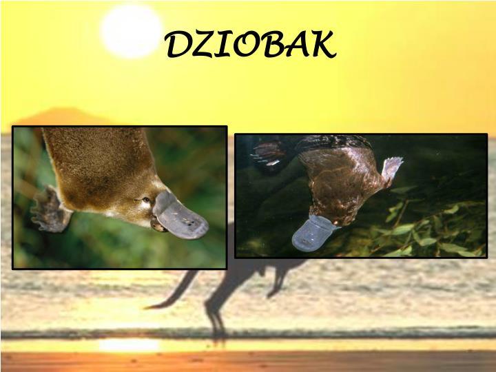 DZIOBAK