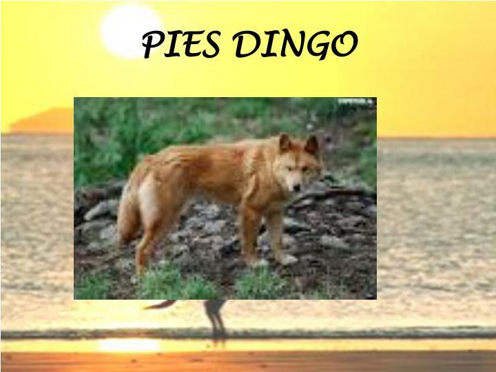 PIES DINGO