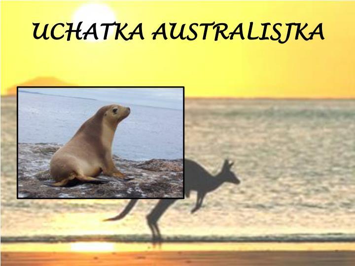 UCHATKA AUSTRALISJKA