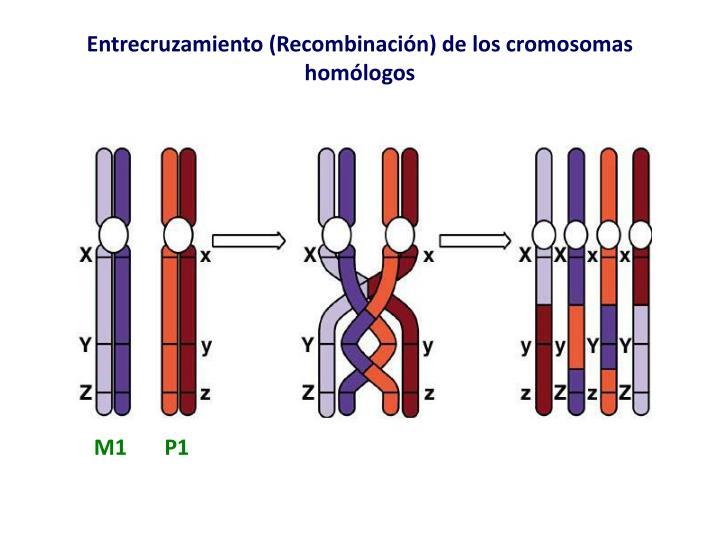 Entrecruzamiento (Recombinación) de los cromosomas homólogos