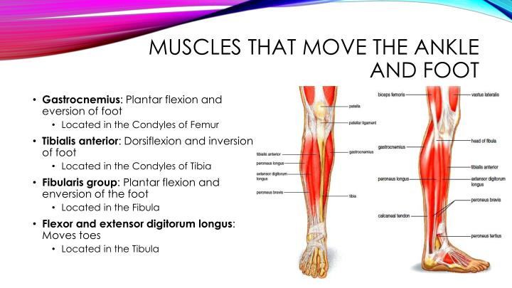 Muscles that move the ankle and foot