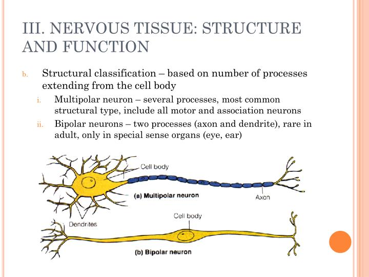 nervous tissue function Muscular tissue 4 nervous tissue human body is made of tissues and cells here is a list of 4 types of tissues like 1epithelium 2 connective tissue 3 muscular tissue 4 nervous tissue  specific type of tissue has the same function in almost all of the higher animals.