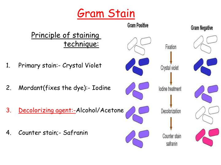Ppt Principle Of Staining Technique Powerpoint