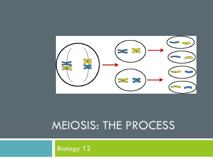 Meiosis the process