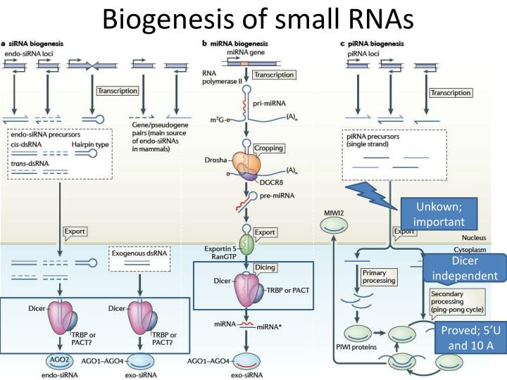 Biogenesis of small rnas