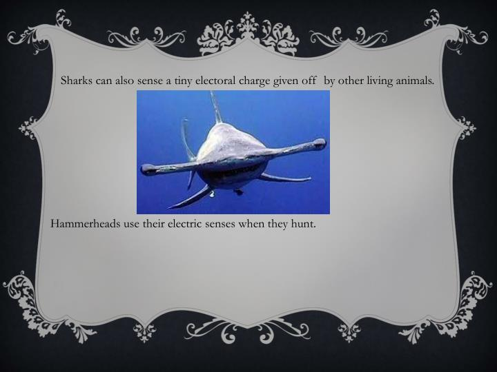 Sharks can also sense a tiny electoral charge given off  by other living animals.