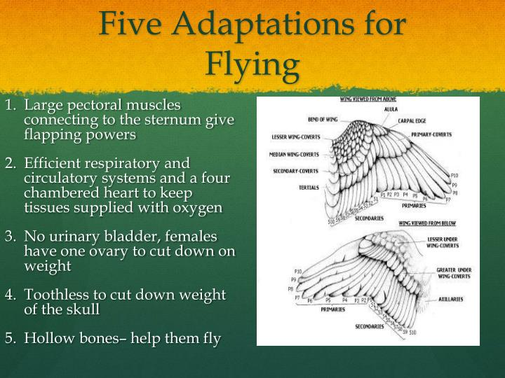 Five Adaptations for Flying