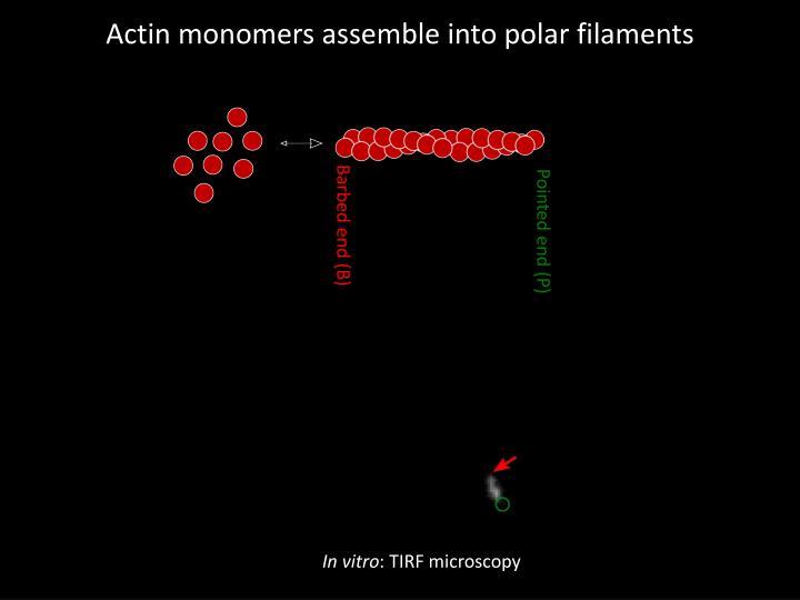 Actin monomers assemble into polar filaments